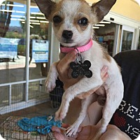 Adopt A Pet :: Bitsy - Manhattan Beach, CA