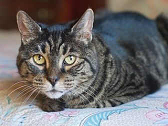 Domestic Shorthair Cat for adoption in Great Falls, Montana - Fancy