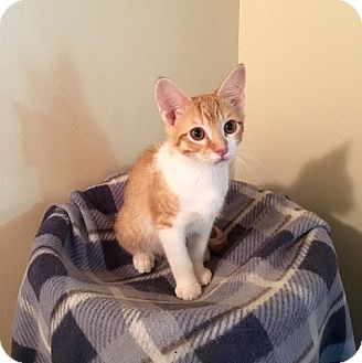 Domestic Shorthair Kitten for adoption in Davison, Michigan - Jacinto