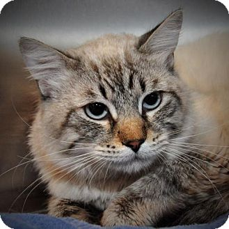 Siamese Cat for adoption in Alamogordo, New Mexico - ROGER
