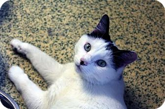 Domestic Shorthair Cat for adoption in Indianapolis, Indiana - Lil Romeo