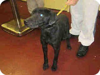 Labrador Retriever Mix Dog for adoption in Newnan City, Georgia - Shane