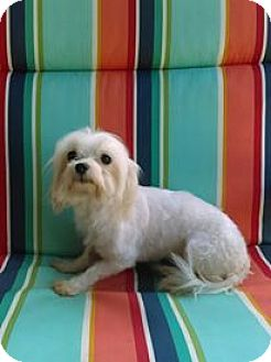Maltese Dog for adoption in WOODSFIELD, Ohio - VIVIAN 6lb.