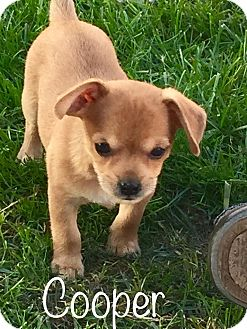 Jack Russell Terrier/Chihuahua Mix Puppy for adoption in Garden City, Michigan - Cooper - Pending Adoption