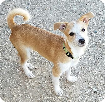 Jack Russell Terrier Mix Dog for adoption in Peoria, Arizona - KOBE