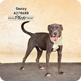 Blue Lacy/Texas Lacy Dog for adoption in Conroe, Texas - GERRY