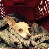 Chihuahua Mix Dog for adoption in Las Vegas, Nevada - Antonella