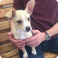 Adopt A Pet :: Champ - Monrovia, CA