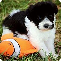 Adopt A Pet :: FRANKIE(TINY