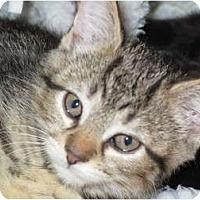 Adopt A Pet :: Syrup - Port Republic, MD