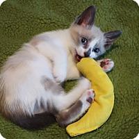 Adopt A Pet :: Adele - Brooklyn, NY