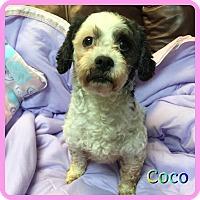 Adopt A Pet :: Coco - Hollywood, FL