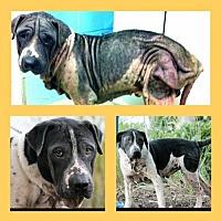 American Bulldog Mix Dog for adoption in Whitestone, New York - O'Reilly