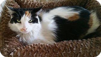 Domestic Longhair Cat for adoption in Columbus, Indiana - Aja