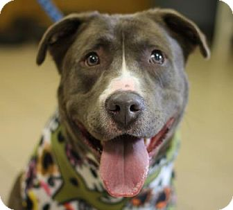 Pit Bull Terrier Mix Dog for adoption in Tyrone, Pennsylvania - Skyy