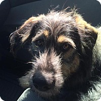 Adopt A Pet :: Gustav - Brooklyn Center, MN