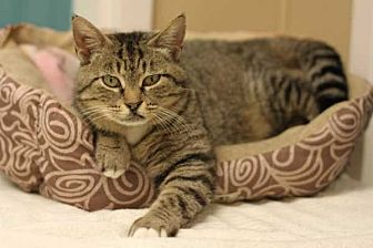 Domestic Shorthair Cat for adoption in Mebane, North Carolina - Rupee Moneypenny