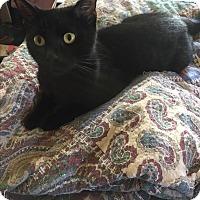 Siamese Cat for adoption in Greensburg, Pennsylvania - Grace