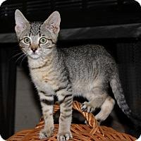 Adopt A Pet :: Pepsi - Fairfax, VA