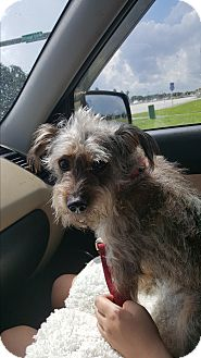 Yorkie, Yorkshire Terrier/Australian Terrier Mix Dog for adoption in Palm Bay, Florida - Scamp