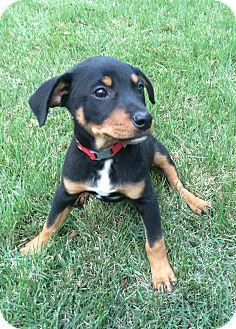 Doberman Pinscher/Labrador Retriever Mix Puppy for adoption in Chicago, Illinois - Max