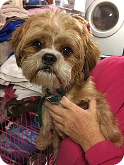 Shih Tzu Dog for adoption in Kansas city, Missouri - Tyson
