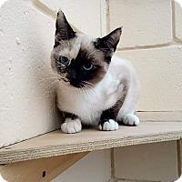 Adopt A Pet :: Capucchina - San Diego, CA
