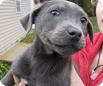 Blue | Adopted Puppy | South Jersey, NJ | Labrador ...