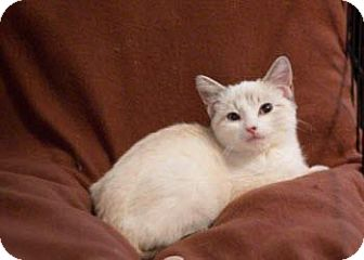 Siamese Kitten for adoption in San Antonio, Texas - Sebastian