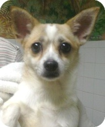 Pomeranian/Chesapeake Bay Retriever Mix Dog for adoption in Orlando, Florida - Charlotte