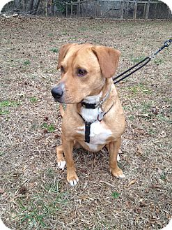 Labrador Retriever/Terrier (Unknown Type, Medium) Mix Dog for adoption in Richmond, Virginia - Lucy