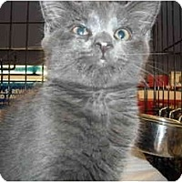 Adopt A Pet :: Pewter - Riverside, RI