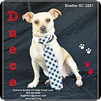 Adopt A Pet :: Duece - Plano, TX