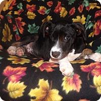 Adopt A Pet :: Chutney - Mechanicsburg, PA