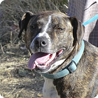 Adopt A Pet :: Drew - Sacramento, CA