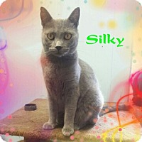 Adopt A Pet :: Silky - New Richmond,, WI