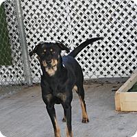 Adopt A Pet :: cinnamon - san antonio, TX
