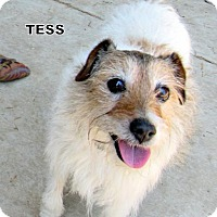 Adopt A Pet :: Tess (Ritzy Grand Paws) - Lindsay, CA