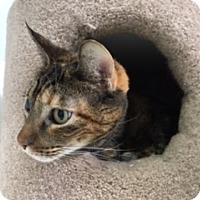Domestic Shorthair Cat for adoption in Diamond Springs, California - Lucy