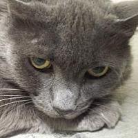 Domestic Mediumhair Cat for adoption in Roseville, California - Cha Cha