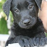 Adopt A Pet :: Yankee - Mt. Prospect, IL