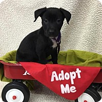 Adopt A Pet :: Adam - Plainfield, IL