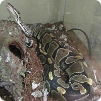Snake for adoption in Elkins, West Virginia - Nagini