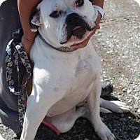 American Bulldog Dog for adoption in San Pablo, California - DAISY