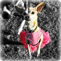 Adopt A Pet :: Tasha - Gilbert, AZ