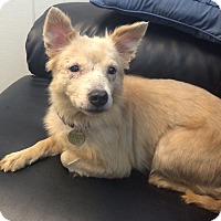 American Eskimo Dog/Sheltie, Shetland Sheepdog Mix Dog for adoption in Oak Ridge, New Jersey - Brianna