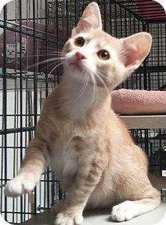Domestic Shorthair Kitten for adoption in Dallas, Texas - PAXIE