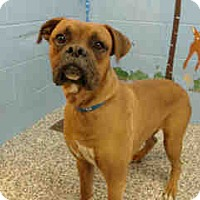 Boxer Mix Puppy for adoption in San Bernardino, California - URGENT ON 11/30 San Bernardino
