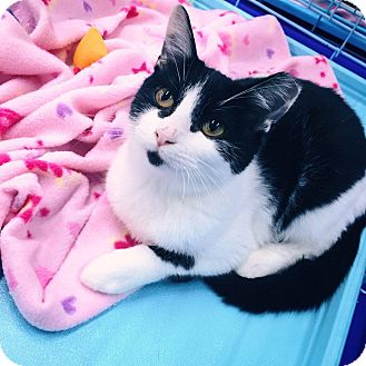 Domestic Mediumhair Kitten for adoption in Mansfield, Texas - Daisy