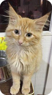 Domestic Longhair Kitten for adoption in Covington, Kentucky - Bones